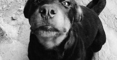 Rottweiler Ralf para adoção