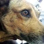 Cadela atingida por explosivo é adotada
