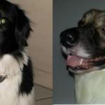 Ballu, o cão desaparecido no Guarujá