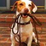 Descubra qual é a melhor coleira para seu cão