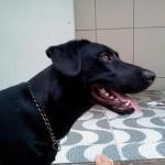 Labrador preto desaparecido no Guarujá