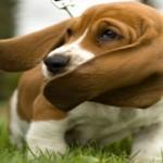 Como limpar o ouvido do seu cachorro