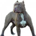 É proibido o corte de orelha em cães