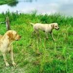 Cães esperam o dono que morreu no lago