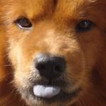 Cães veem os donos como pais, diz pesquisa