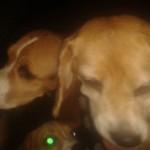 Foto dos beagles resgatados no Instituto Royal