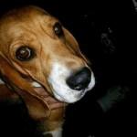 Beagles são resgatados no Instituto Royal