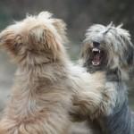 Como lidar com a agressividade de 2 cães