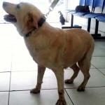 Labradora precisa de ajuda