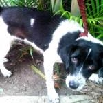 Cadelinha para adoção, Guarujá
