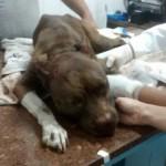 Cadela Vida sobrevive a cirurgia