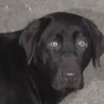 Saiba de onde vêm os cães do pet shop