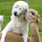 petrede-cachorro-amizade-alpaca16