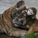 tigre-e-macaco-em-plena-harmonia-zoologico-China-e1343914703596