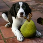 canine-nutrition-dog-with-pear