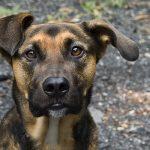 80 curiosidades sobre os cachorros