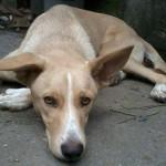 Cão precisa de doação de sangue, em Guarujá