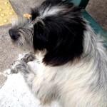 Cachorro de porte pequeno para adoção