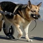 USP oferece tratamento a cães paraplégicos