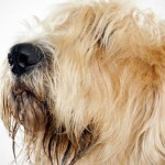Como lidar com a queda de pelos dos cães
