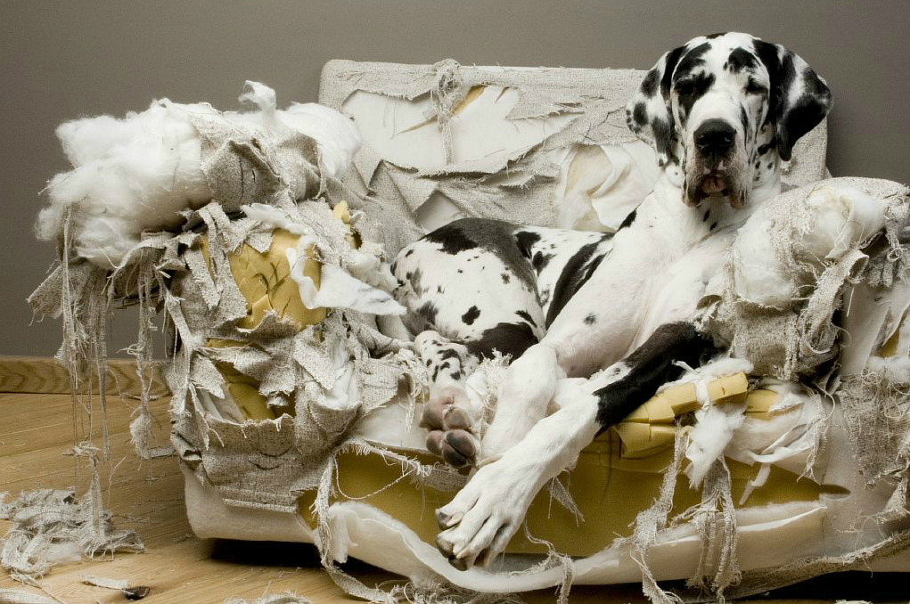 great_dane_torn_couch