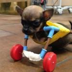 Conheça o cão Turbo e a sua cadeira de roda
