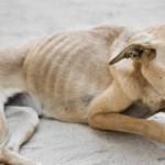 Identifique um cão desnutrido