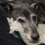 Quando um cão é considerado idoso?