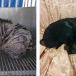 O antes de depois de 16 cães resgatados