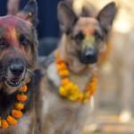Festival Hindu no Nepal celebra os cachorros