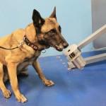 Cadela que seria sacrificada agora detecta câncer
