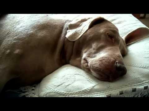 video_ir_cute_dreaming_dog_funny_talking_weimaraner_super_britney_is_sleep_barking_woof_woof_1311404488