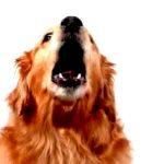 Você sabe o por que que os cães latem?