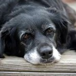 8 razões para adotar um cão idoso