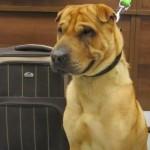 Abandonado, cão fará campanha contra venda