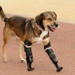 Cachorra perde as patas em envenenamento