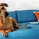 Tire manchas de xixi de cachorro da sua cama