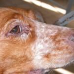 Mil cães recebem coleira em prevenção à leishmaniose
