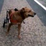Cadela paralítica fica 27h em caixa de transporte