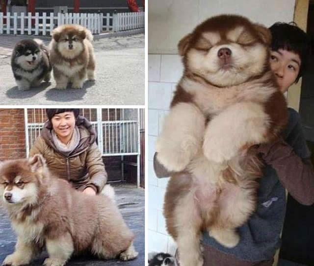 Chow Chow e Husky
