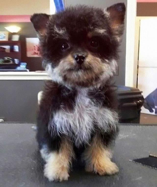 Yorkshire Terrier e Poodle