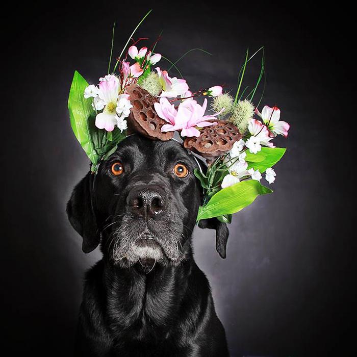 black-dog-portraits-floral-crown-guinnevere-shuster-7