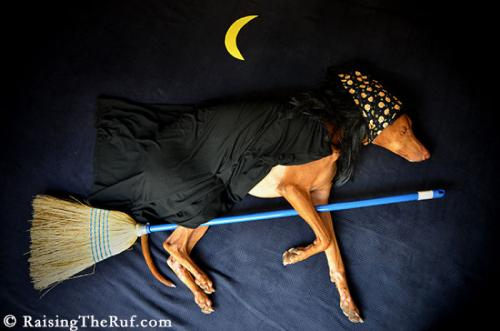 rufus-pharaoh-hound-cachorro-noticia-0-500x331