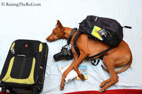 rufus-pharaoh-hound-cachorro-noticia-02-500x331