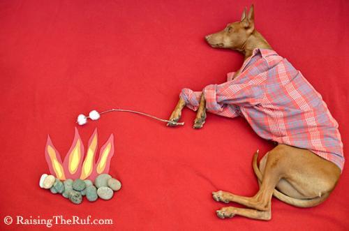 rufus-pharaoh-hound-cachorro-noticia-03-500x331