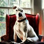 Conheça Oogy, o cão resgatado de rinhas