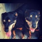 Cadelas rottweilers para adoção