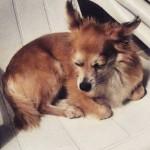 Cadela que sumiu após roubo na PG é encontrada