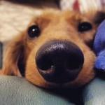 Por que os cães partem tão cedo?