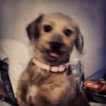 Cadela desaparecida em Guarujá